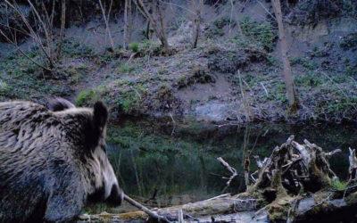 В об'єктив фотопастки потрапила лісова свиня